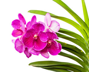 Vanda ochid flower isolated