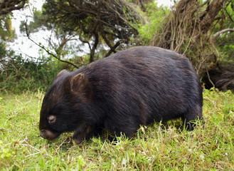 Wombat , Australien, Wilsons-Promontory-Nationalpark