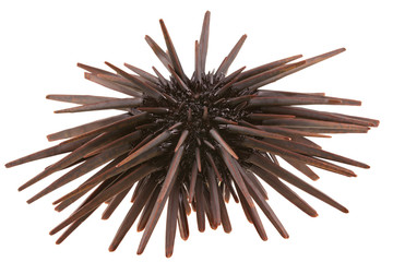 oursin crayon, Heterocentrotus mammillatus