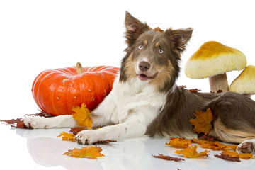 Border Collie between falling leaves