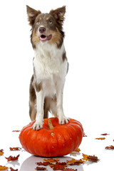 Border Collie standing on pumpkin