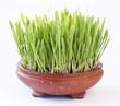 barley - 56584790