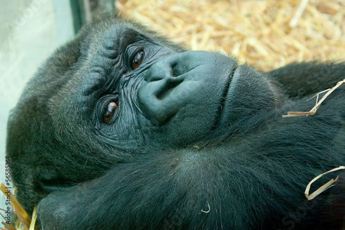 resting female gorilla 2535