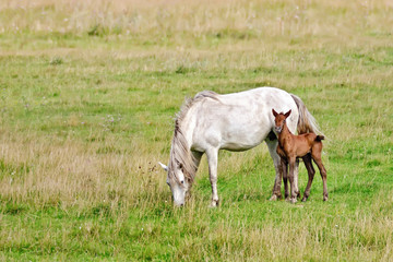 Horse white with bay foal