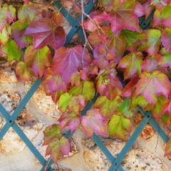 Ivy climb on a wall   Lierre grimpant  sur un mur