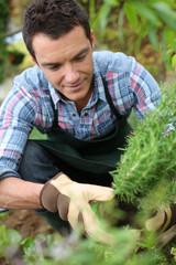 Man in vegetable garden planting aromatic herbs