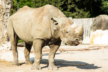 rhino rhinoceros zoo