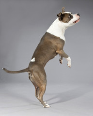 Playful jumping american bull terrier portrait. Brown with white