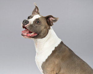 Alert american bull terrier portrait. Brown with white spots. St