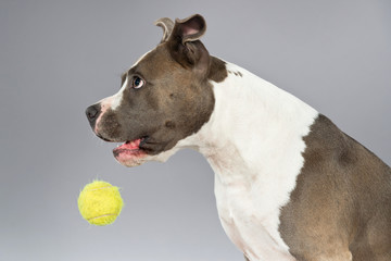 Playing with tennis ball american bull terrier portrait. Brown w