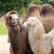 Verliefde kamelen