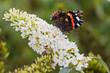 Atlanta vlinder