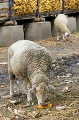 Sheep eats corn on farm