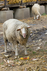 Sheep eats corn on farm