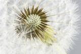 Macro shot of dandelion