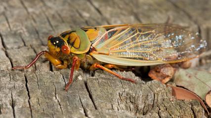 a Rare Green Grocer Cicada (Cyclochila australasiae)