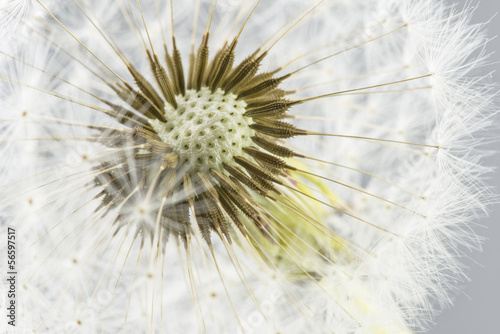 Macro shot of dandelion - 56597517
