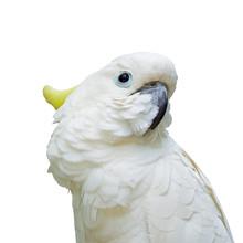 Cacatoès à huppe jaune isolé