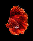 red siamese fighting fish, betta isolated on black background
