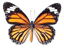 papillon monarque isolé sur fond blanc