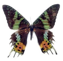 papillon isolé sur fond blanc, Madagascar