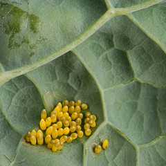 Eggs of Large cabbage white butterfly (Pieris brassicae)