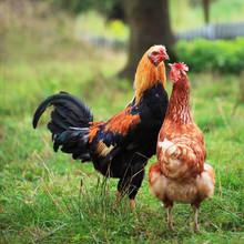 Poulets aiment