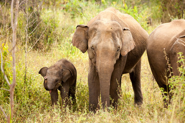 Elephant family in national park in Sri Lanka