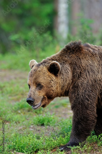 Male Brown Bear