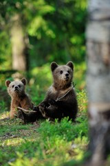 Brown bear cubs in the forest