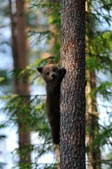 Bear cub on a tree
