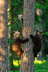 Bear cubs on a tree