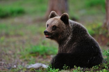 Young Brown Bear