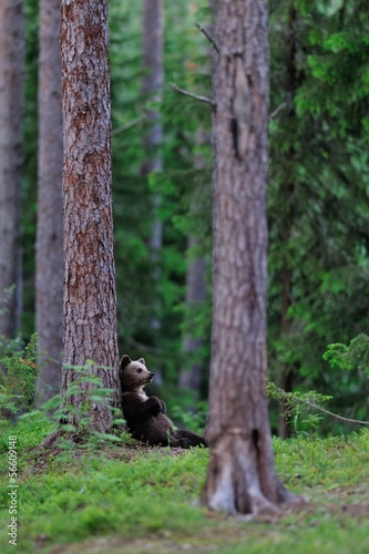Bear cub lying against a tree