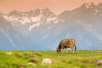 Cows in an Alpine meadow