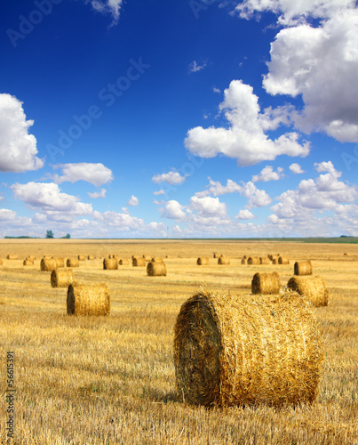 harvested bales of straw in field