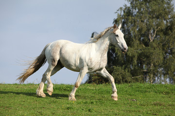 Nice white horse running on horizon