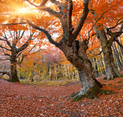 Huge beech in the autumn forest