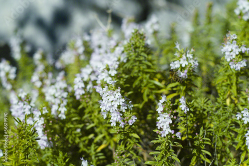 Winter Savory (Satureja montana) plant