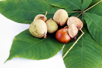 ripe fruits of horse chestnut tree