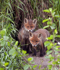 Red foxes (Vulpes vulpes) 45 days old.