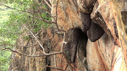 Beehives of Giant honey bee (Apis Dorsata) at Sigiriya's cliff.