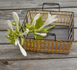 Bouquet of white hosta in a  basket