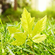 Maple leaf in grass with bokeh background