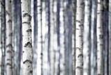 Birch trees  in blue