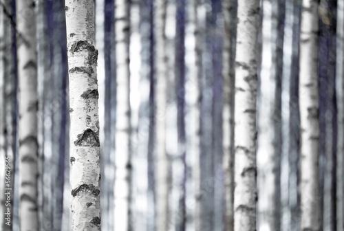 brzozy-w-kolorze-niebieskim