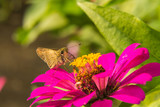 Butterfly feeding on Pink Straw flower
