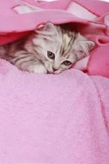 Graues Kätzchen unter Decke - kitten below blanket