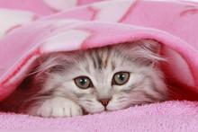 Chaton à la recherche de sous couverture - chat se cache sous la couverture
