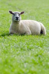 Schaf auf der grünen Wiese